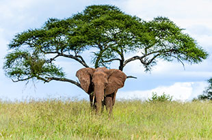 vacations-africa-safari-elephant